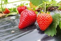 Aardbeien-Jelte