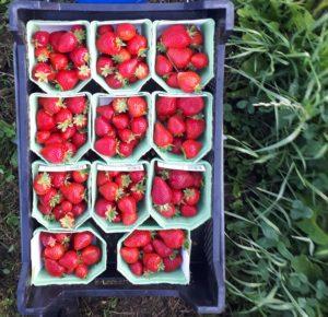 Aardbeien tussen gras