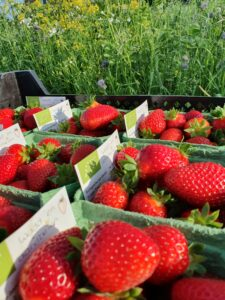 Verse aardbeien biologisch